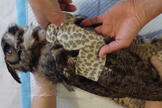 Wound Care, Bandaging and Splinting – Basics in Wildlife Rehabilitation
