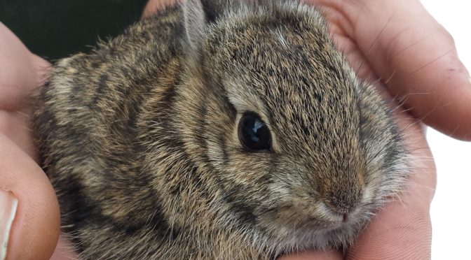 The COMPLETE Course in Raising Neonatal Cottontails